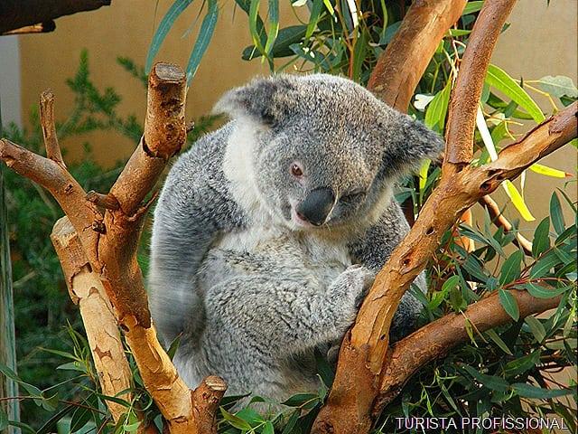 coala zoológico