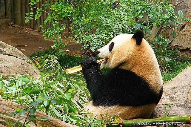 zoológico de san diego urso panda