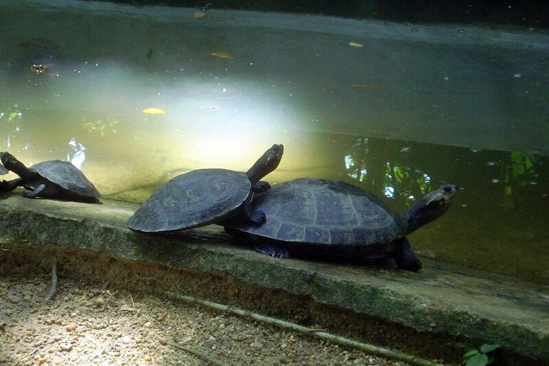 tartarugas da amazonia - O que fazer em Manaus