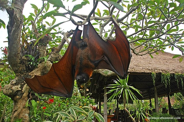 roteiro2 - Surpresa em Bali: uma raposa voadora, o maior morcego do mundo