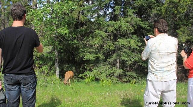 Canadá dicas - A wildlife do Canadá - como ver ursos na natureza