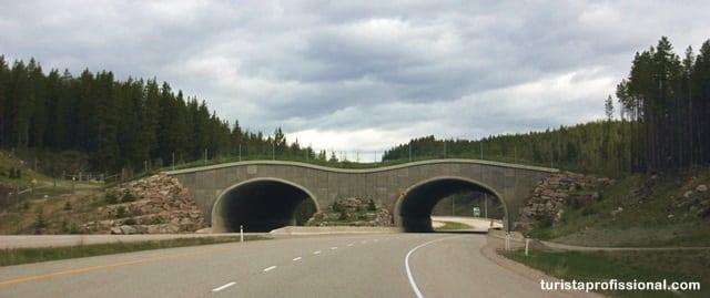 Canadá o que fazer - A wildlife do Canadá - como ver ursos na natureza