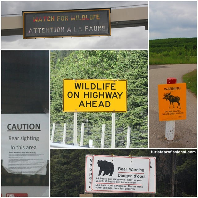 dicas Canadá - A wildlife do Canadá - como ver ursos na natureza