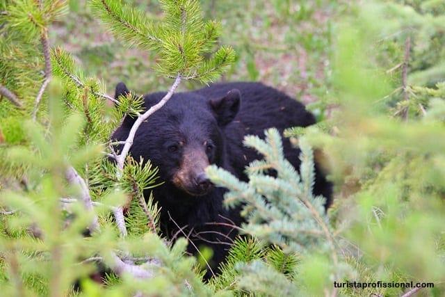 dicas do Canadá - A wildlife do Canadá - como ver ursos na natureza