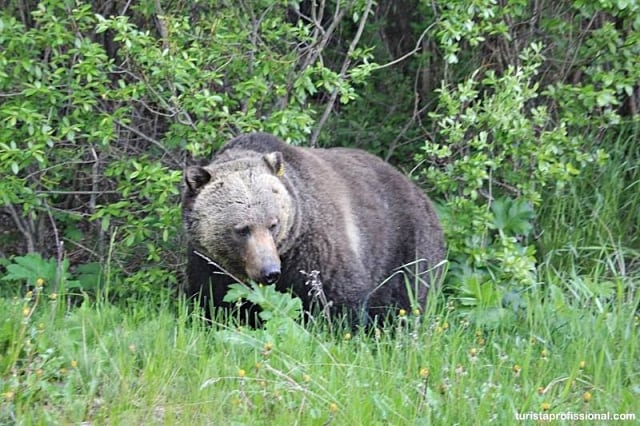 Ver ursos no Canadá