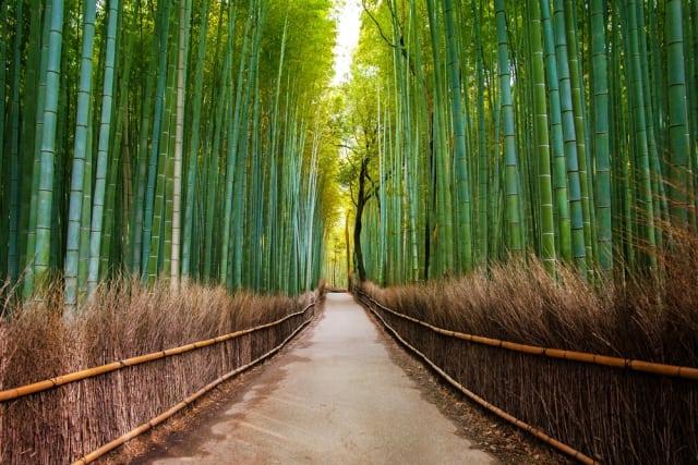 floresta dos bambus