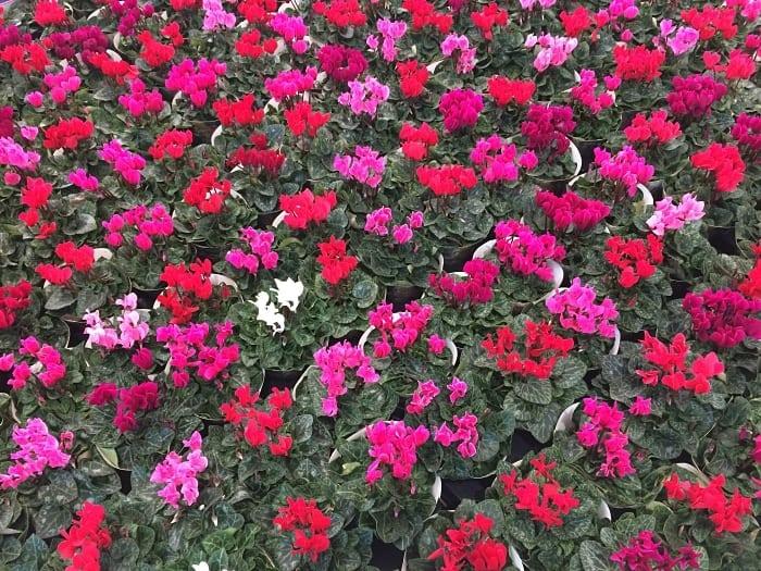 cidade das flores - Holambra, a cidade das flores: dicas para visitar a Expoflora