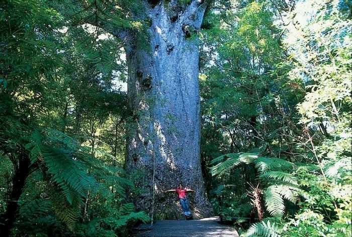 Passeio pela Ancient Kauri Trail - 18 motivos para visitar a Nova Zelândia