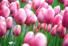 dicas de Keukenhof, maior parque de tulipas do mundo