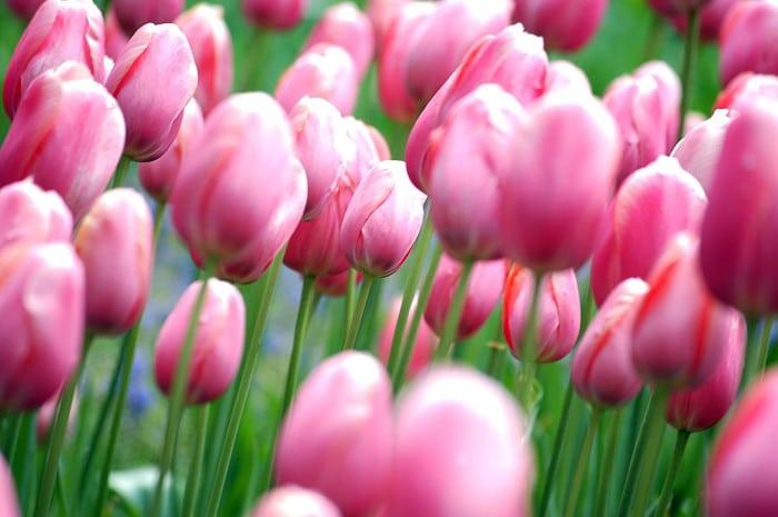 dicas holanda tulipas - Cidades da Holanda para visitar além de Amsterdam