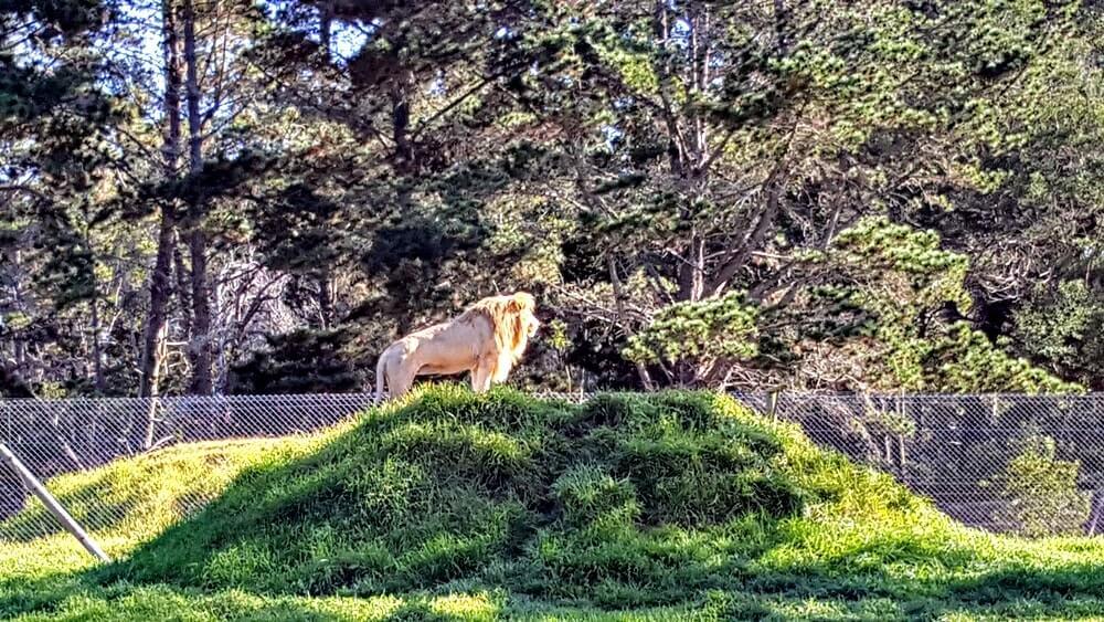 Ver leão na África do Sul