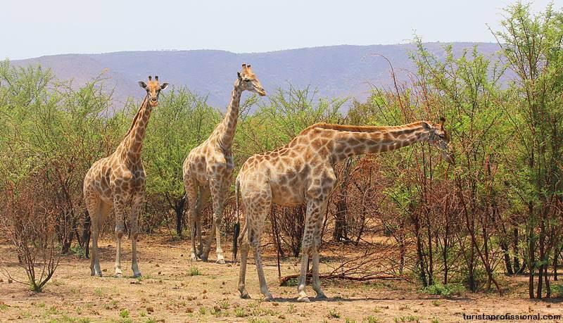 africa do sul safari girafas - Safári com crianças na África do Sul