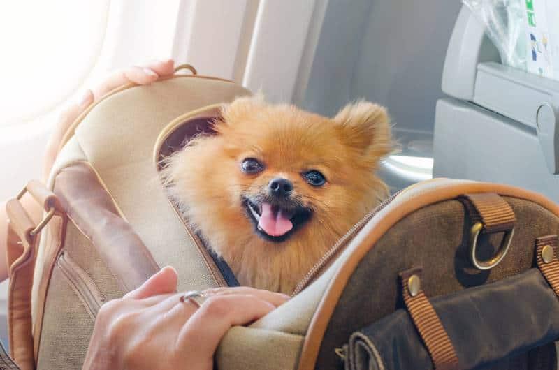 levar animais na cabine do avião