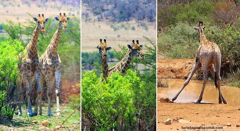 girafas africa do sul safari - Safári com crianças na África do Sul