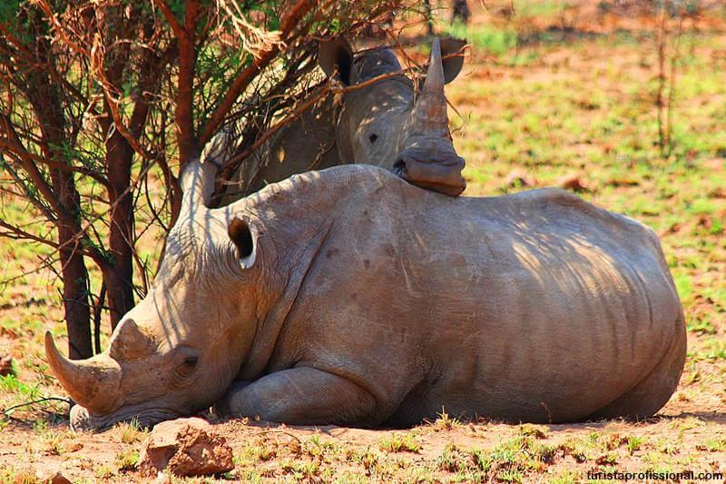 rinocerontes da africa do sul - Safári com crianças na África do Sul