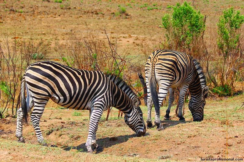 zebra safari africa - Safári com crianças na África do Sul