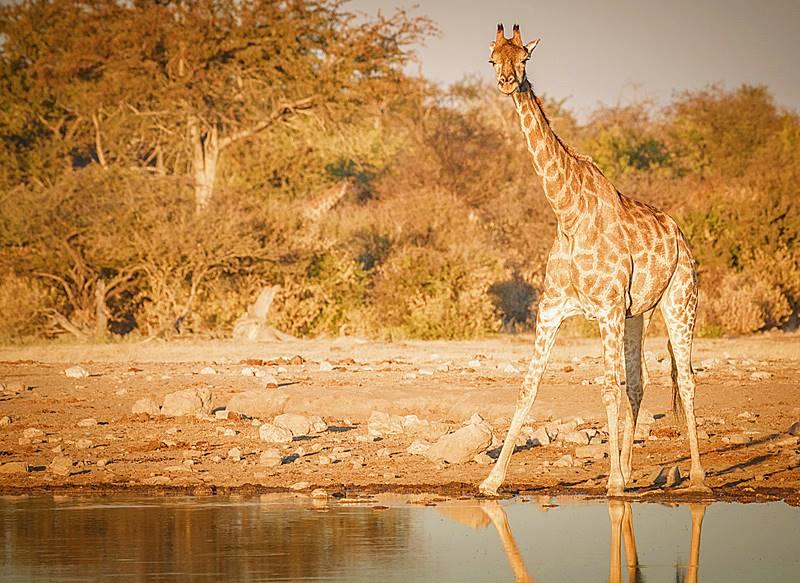 Girafa na África