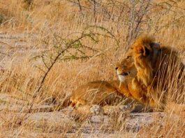 Leão no safári na África
