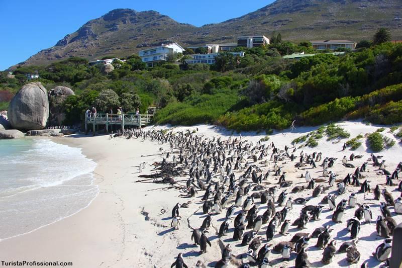 Praia dos pinguins em Cape Town