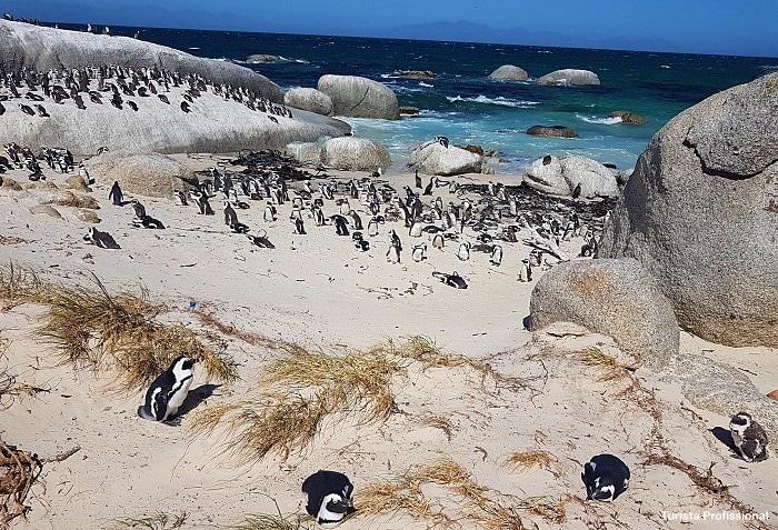 O que fazer em Cape Town - Boulders Beach