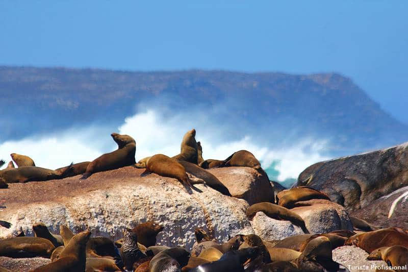 focas em Hout Bay Cidade do Cabo