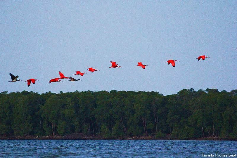revoada dos guaras no delta do parnaiba - Delta do Parnaíba: passeio de barco e revoada dos guarás