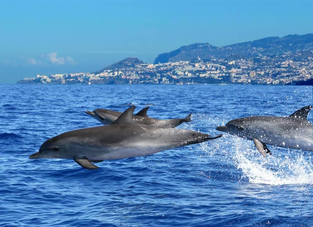 passeio com golfinhos na ilha da madeira - 16 curiosidades da Ilha da Madeira